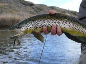 brown trout on wooly bugger
